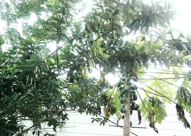 Guava and Papaya Trees