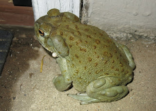 Incilius alvarius, Sonoran Giant Toad