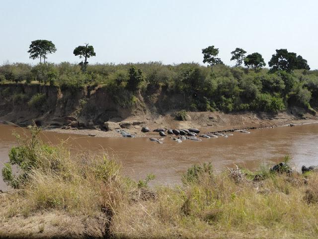Hipopótamos en Masai Mara