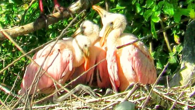 Roseate Spoonbill Babies in Nest