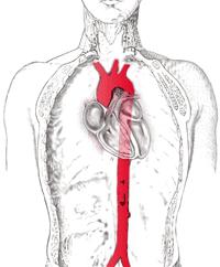 Localización de la aorta en el organismo humano