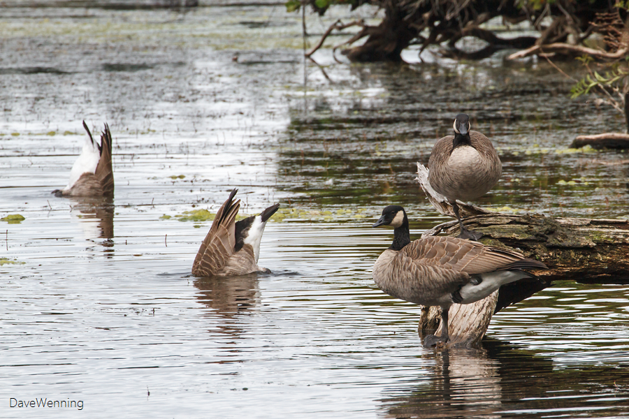 Canada Geese at Cranberry Lake