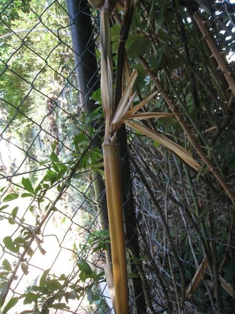 Grinchou Blog Tuer Exterminer Des Rhizomes De Bambous Trop Envahissants