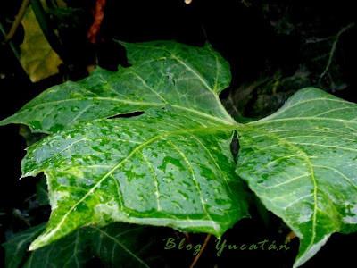 Plantas en maya yucateca