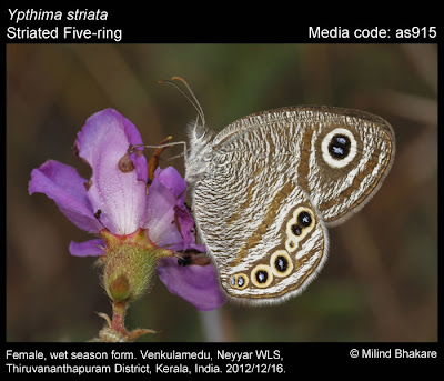 Striated Fivering, Ypthima striata , rare butterfly, Neyyar Wildlife sanctury, kerala butterflies, TNHS, butterfly survey
