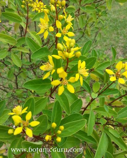 Galphimia glauca, Thryallis, Rain of Gold flowers