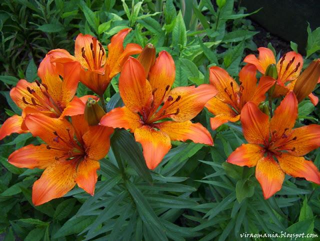 tűzliliom virág