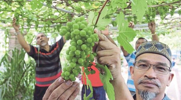 Pokok anggur mudah 'ditipu': Ini bukti pokok anggur boleh ditanam di Malaysia