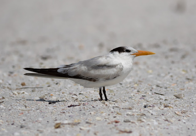 Royal Tern - Carlos Pointe, Florida