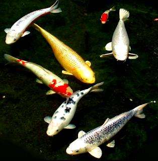 Ciri ciri ikan koi asli