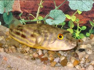 Ikan Buntal Air Tawar Fahaka
