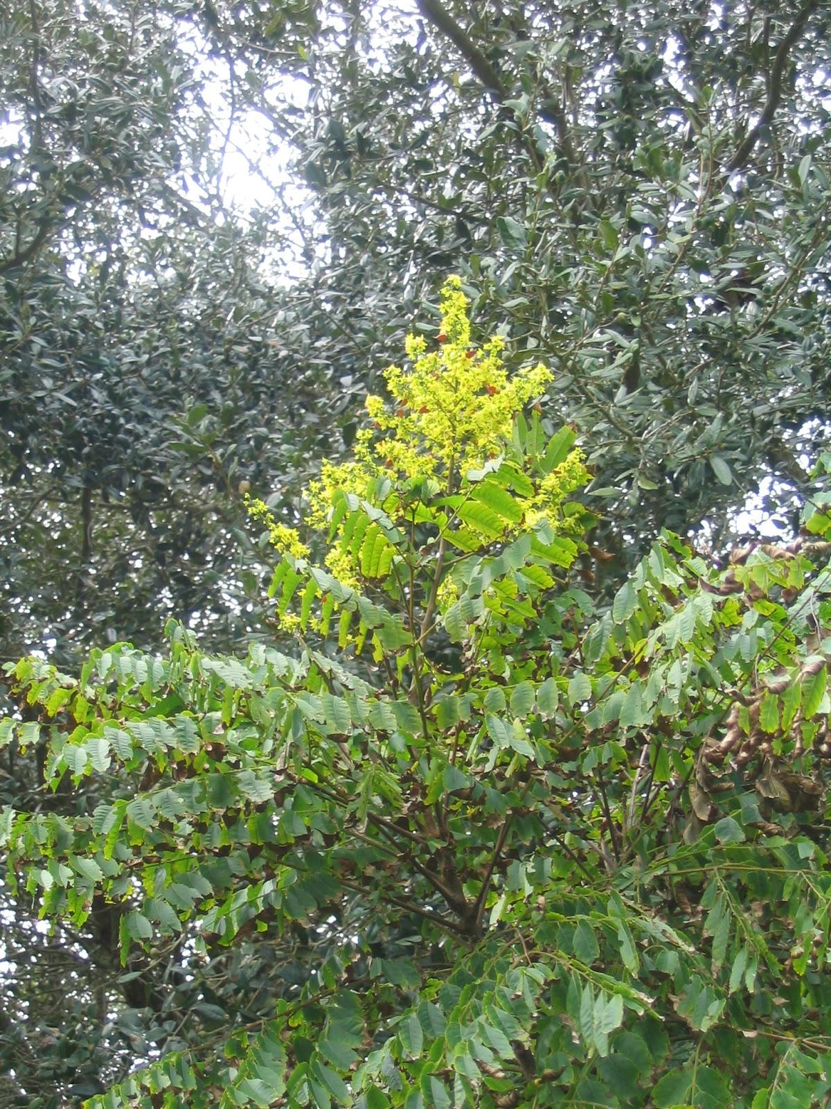 Gold Rain Bouganvilla Tree