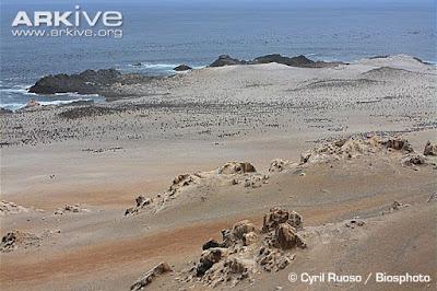 Peruvian Pelican habitat