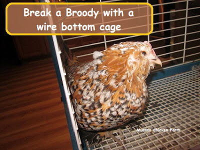 breaking a broody
