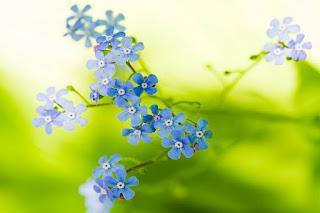 florecillas-de-petalos-azules