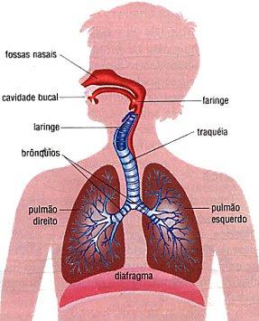 Dibujo del Aparato Respiratorio del cuerpo humano indicando sus partes