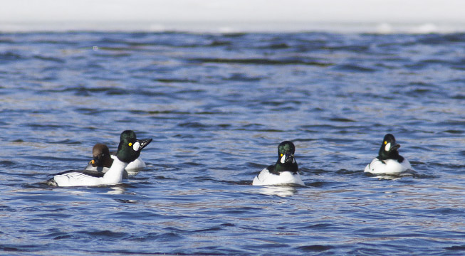 Common Goldeneyes