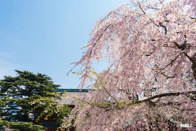 増上寺(港区)の枝垂れ桜