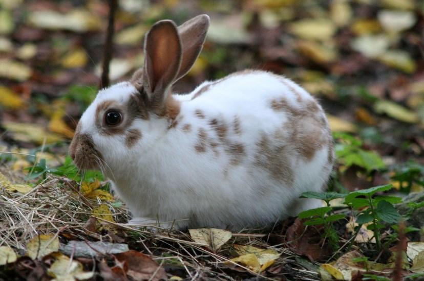 Foto kelinci liar di alam lebih kurus dan hidup sehat untuk diburu