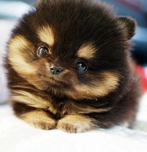 Cute Dogs Pomeranian Husky Mix