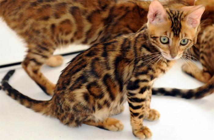 Suara Karya Mitos Kucing Kembang Telon