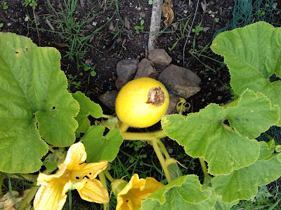Allotment Growing - Pumpkin