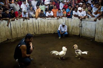 Judi Sabung Ayam Online Peru