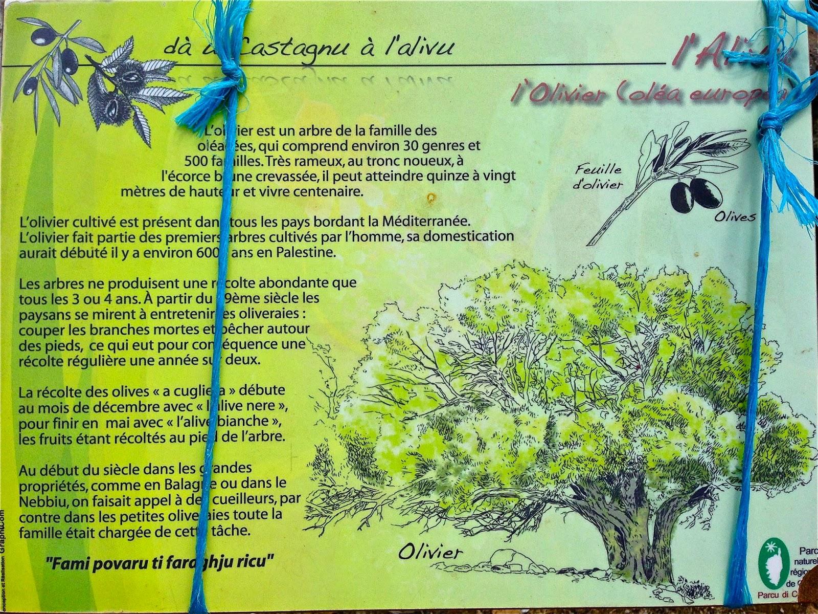 Il Cultive L Olivier yves-noël genod, le dispariteur: l 'olivier cultivé