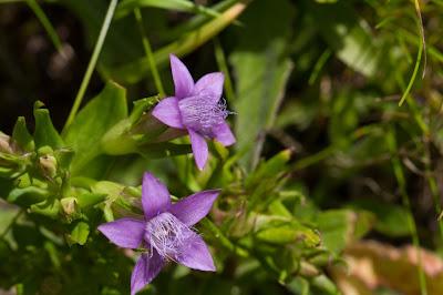 Genzianella germanica – Chiltern Gentian (Genzianella delle Alpi Retiche).