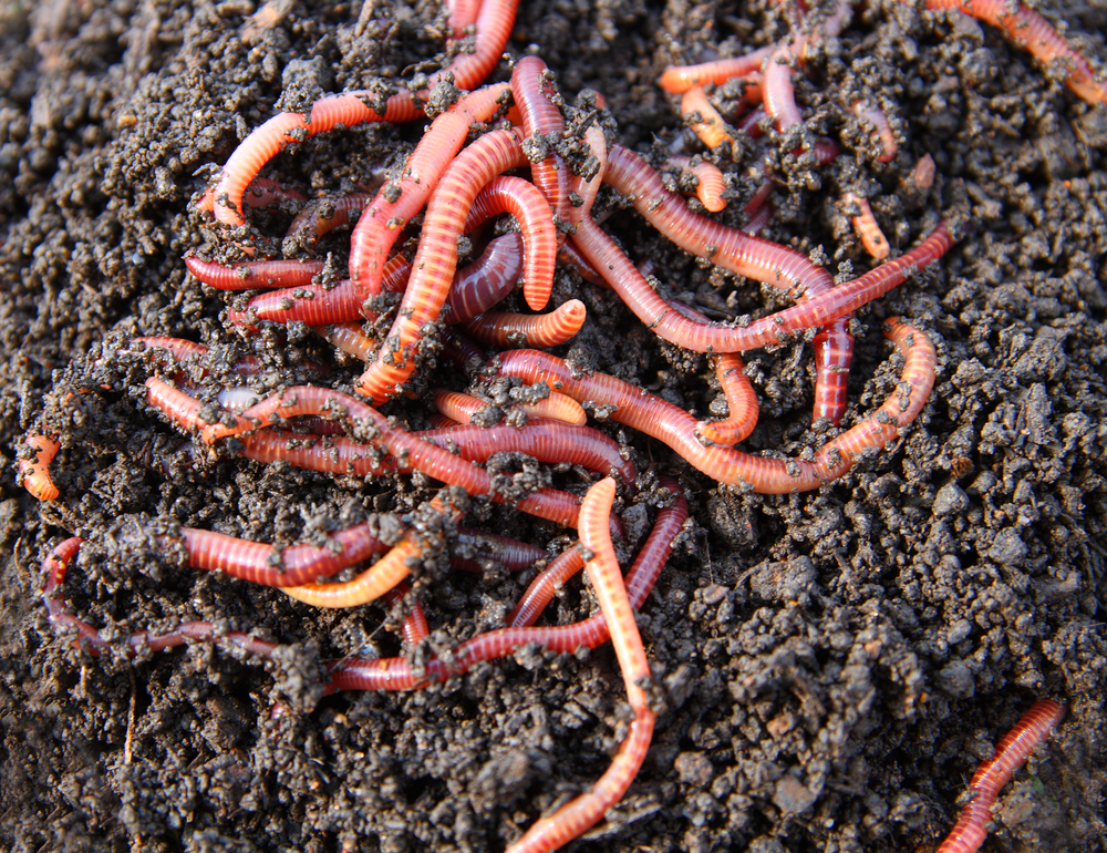 EcoBuzz Blog Composting with worms without a backyard