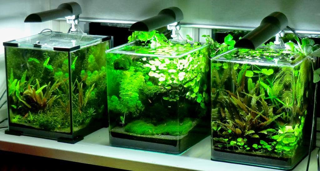 All About Betta Fish Nano Aquascaping Best Suited For Plakats
