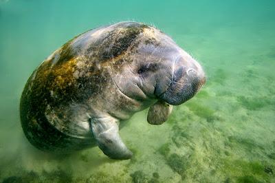 Peixe boi, peixe-boi, peixe boi marinho, fotos, fotografia, mamífero, peixe, animal, projeto peixe boi marinho, salve o peixe boi, extinção, marinho, biologia, ecologia, mamífero marinho, mamíferos do mar