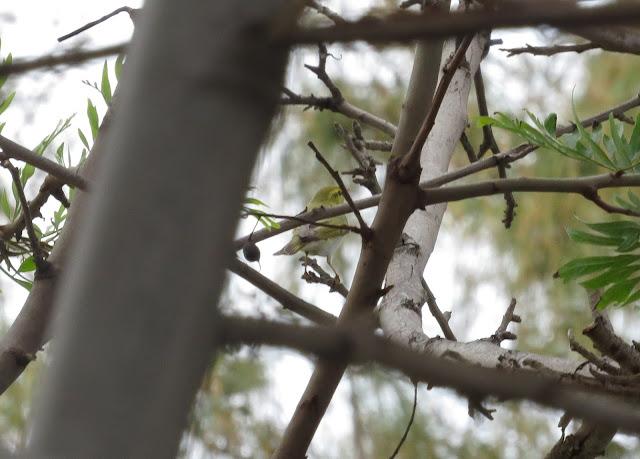 Wood Warbler - Golf Las Americas, Tenerife