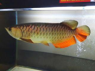 ikan-arwana-golden-red.jpg