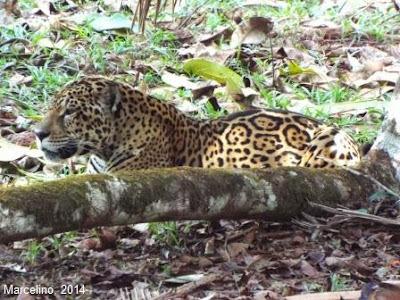Onça Pintada, onça, Jaguar, Panthera onca, extinção, mamíferos, felinos, fotos de onças, foto onça pintada