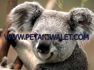SP Koala Super