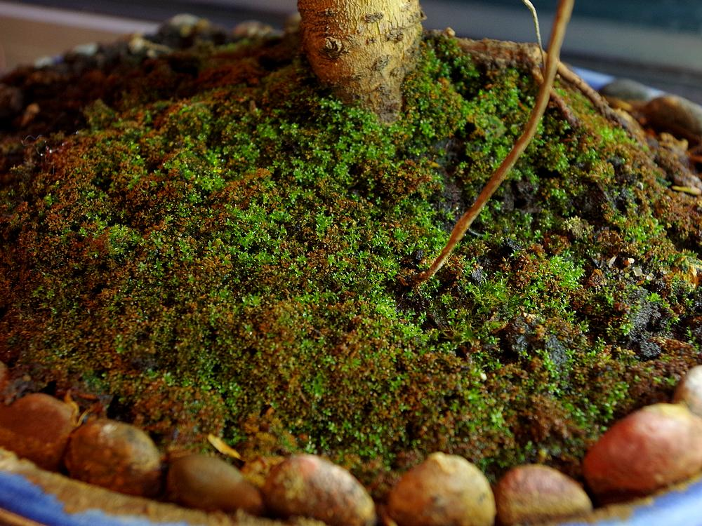 Zielony Mech Fikusy Storczyki Bonsai Draceny A Także