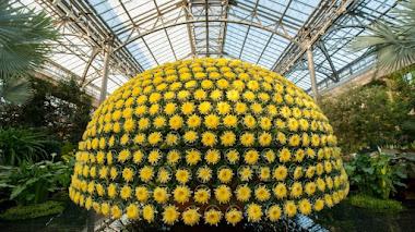 Foto del día: 1.523 flores de crisantemo en una sola planta en Longwood Gardens