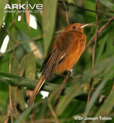 Rufous Twistwing