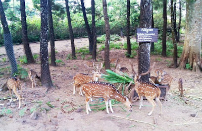 rusa-tutul-taman-safari