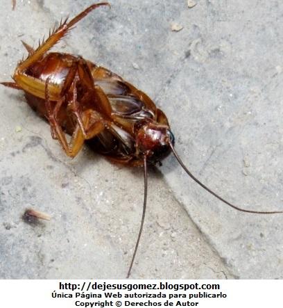 Foto de una cucaracha muerta donde muestra sus patas aplanadas y espinosas, foto tomada por Jesus Gómez