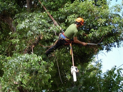 Tree Pruning in Process - Arboriculture Services