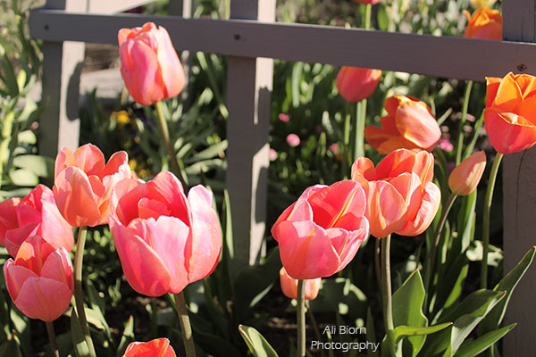 Peachy Pink Tulips at Ashton Gardens Tulip Festival
