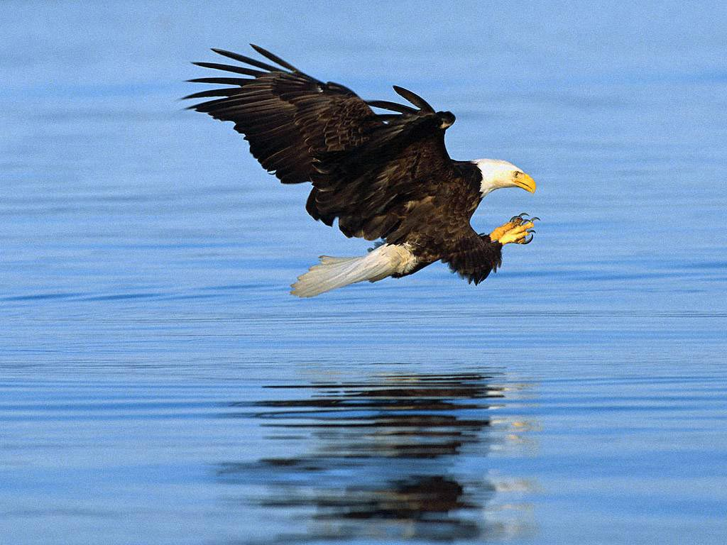 Flying Animal Bald Eagle