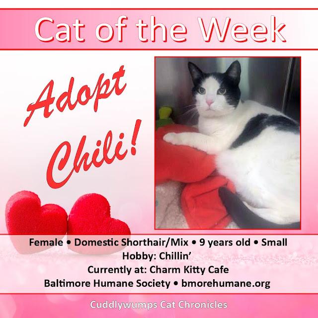 Cat of the Week: Adopt Chili! #CharmKittyCafe #bmorehumane