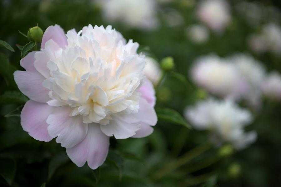 金沢大学薬用植物園の芍薬(シャクヤク)