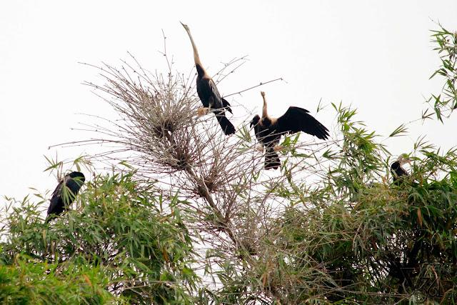 Darter birds