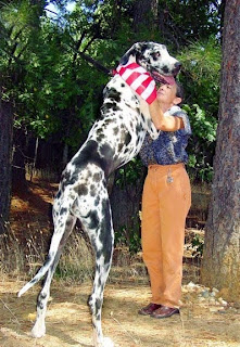 Great Dane Big Dog Pets Cute And Docile