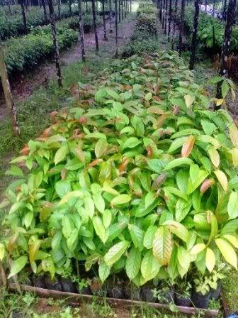 bibit tanaman ulin khas kalimantan