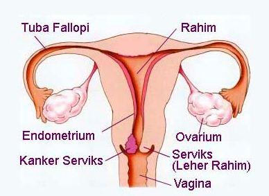 Gambar Alat Reproduksi Wanita Bagian Luar dan Dalam Beserta Fungsinya